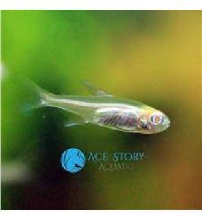Abino Glowlight Tetra (Fish / Live Stock / Aquarium)