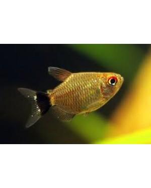 Ballon Red Eye Tetra (Fish)
