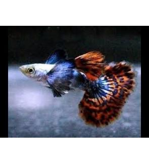 Big Ear Guppy (Aquarium Fish)