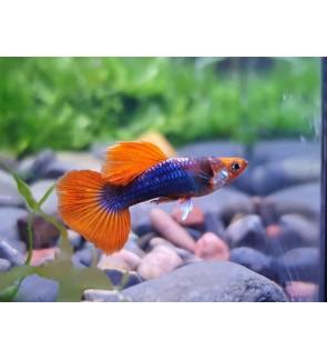 Red Tuxedo Koi Guppy (Aquarium Fish)