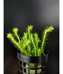 Mayaca Fluviatilis 绿松尾 (Aquatic Plant)