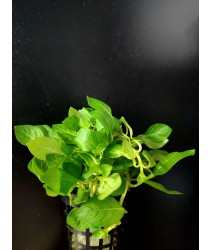 Ludwigia Repens Green (Aquatic Plant)