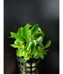 Ludwigia Brevipes 大红梅 (Aquatic Plant)