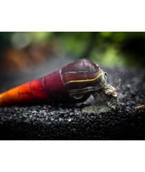 Cappuccino Snail / Lava Snail