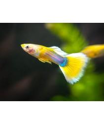 Yellow Tail Tuxedo Guppy Fish