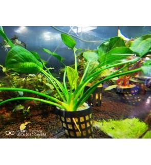 Echinodorus Satan (Aquatic Plant)