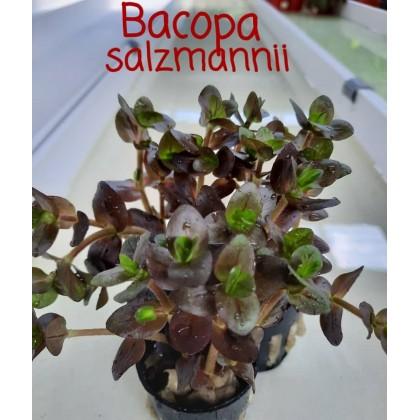 Bacopa Salzmannii Aquatic Plant